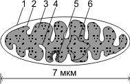 Строение митохондрии
