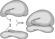 Строение рибосомы