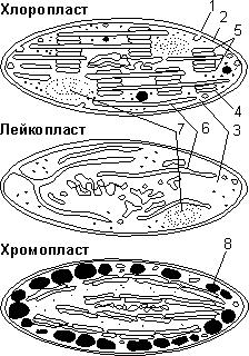 Какова функция хлоропластов в клетке