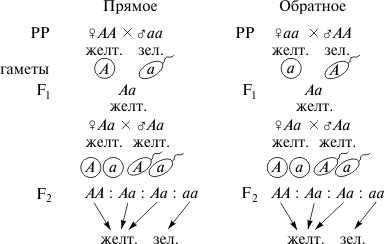 Решение задач на 1 закон менделя задачи 2 класс решения моро